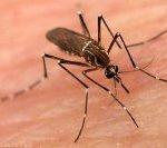Le zanzare perché succhiano il sangue?