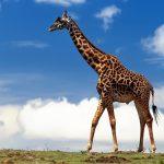 Perché la giraffa ha il collo lungo?